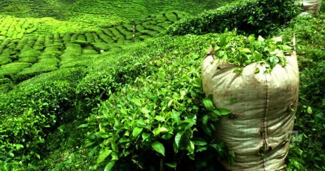 الشاي يحتوي فوائد ضرار bntpal.com_147156445
