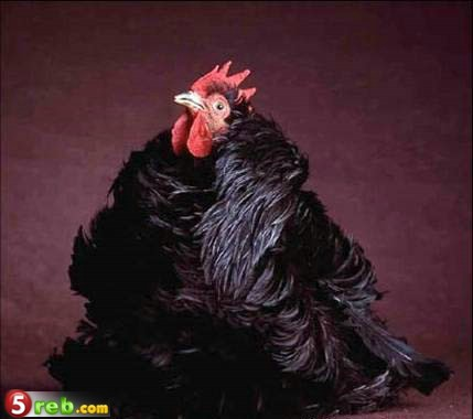 اجمل انواع الدجاج العالم bntpal.com_148892922