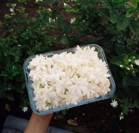 يبقى الياسمين ابيضًا مهما خانته bntpal.com_151454508