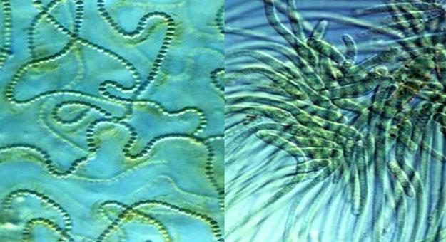البكتيريا الزرقاء أقدم كائن الأرض bntpal_1432058762_90