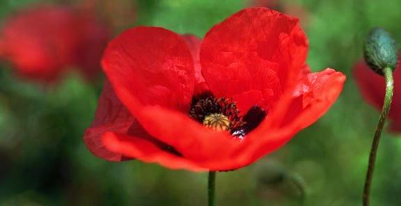 شخصيتك الورود التي تحبها bntpal_1434439429_42