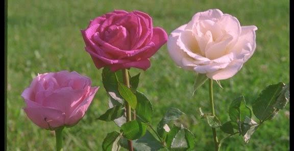 شخصيتك الورود التي تحبها bntpal_1434439433_44