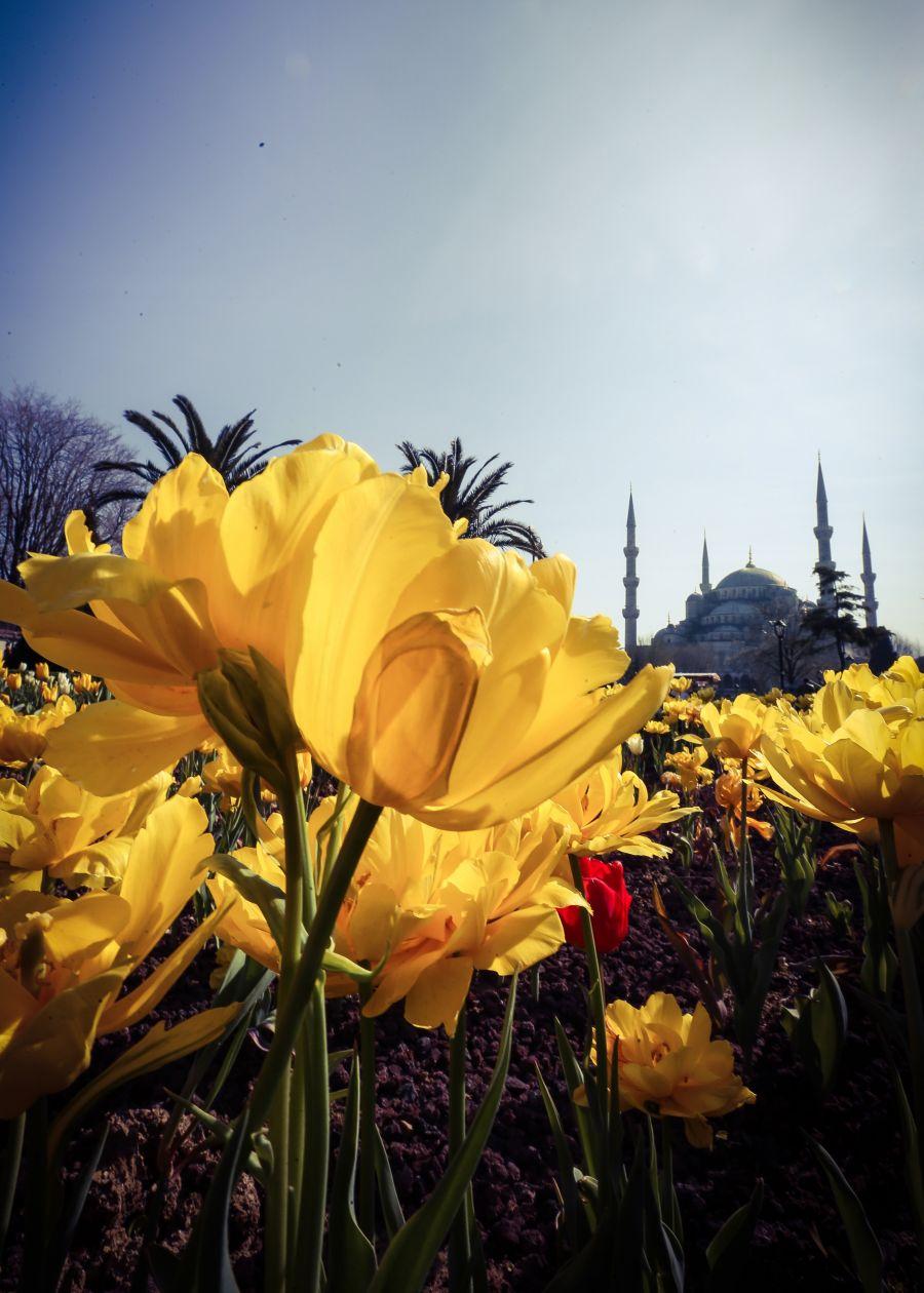 """التوليب"""" تضفي إسطنبول جمالا خلابا bntpal_1460753891_13"""