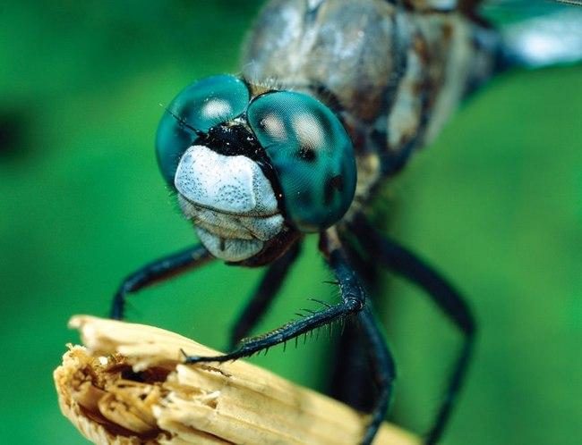 اليعسوب يدمر نظرية التطور!! bntpal_1473971804_87
