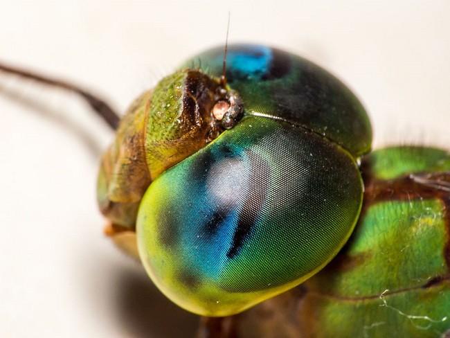 اليعسوب يدمر نظرية التطور!! bntpal_1473971805_25