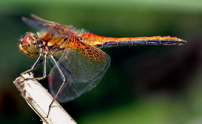 اليعسوب يدمر نظرية التطور!! bntpal_1473971805_81