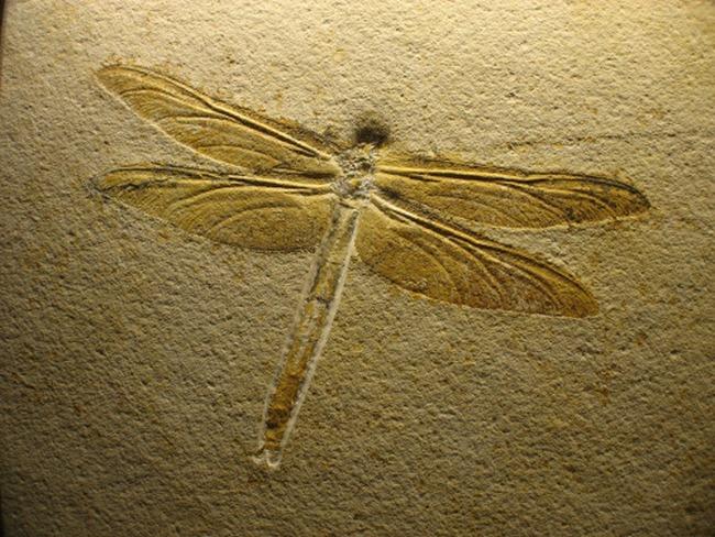 اليعسوب يدمر نظرية التطور!! bntpal_1473971806_68