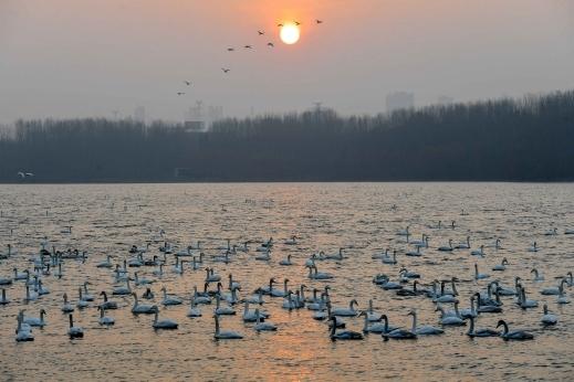 هجرة البجع الصين